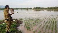 120 Ha Tanaman Padi di Palas Kembali Terendam Banjir