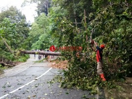 Satlak BPBD Evakuasi Pohon Tumbang Akibat Longsor di Krui