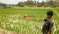 2.000 Hektare Tanaman Padi di Palas Terancam Kekeringan