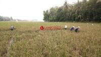 276 Hektare Tanaman Padi Rusak Akibat Banjir