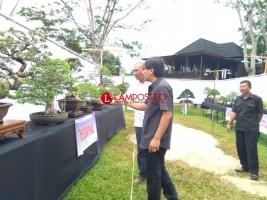 454 Bonsai Ramaikan Pameran dan Kontes di Rumah Kayu