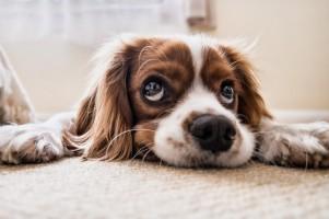 Anjing Penolong