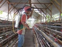 Ansisipasi Flu Burung, Peternak Diminta Beri Desinfektan