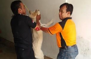 Antisipasi Rabies, Distan Lampura Tangkap Anjing Liar