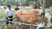 Antisipasi Virus Jembrana, Lambar Tingkatkan Pengawasan di Pos Lintas Ternak