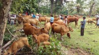 Bakti Sosial Pengobatan Massal Ternak di Lamteng