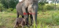 Bayi Gajah Jantan Lahir di Taman Nasional Way Kambas