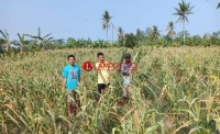 Belasan Hektare Tanaman Jagung Puso