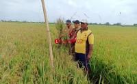 Belasan Hektare Tanaman Padi di Pulautengah Terserang Blas