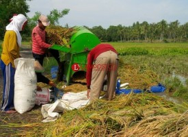 Besok, Panen Raya Padi Seluas 2.000 Hektare di Palas