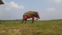 Birahi Jadi Penyebab Gajah Milo Amuk Pawangnya