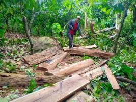 Bongkar Dalang Illegal Logging