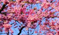 Budaya Sakura