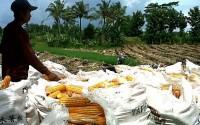 Bulog-Kodim Sinergi Serap Jagung Petani