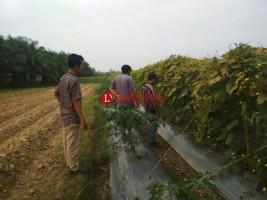 BUMDes di Pringsewu  Kerja Sama Tingkatkan Pertanian
