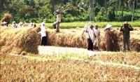 Buruh Angkut Gabah Terdampak Anjloknya Produksi Padi