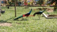 Burung Merak Tambah Koleksi Satwa Taman Kehati
