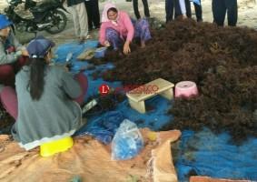 Cuaca Ekstrem, Panen Rumput Laut Petani di Lamsel Turun 30 Persen