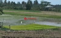 Curah Hujan Minim, Petani Padi Pesisir Timur Lamsel Terancam Gagal Tanam