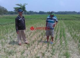 Data Luas Sawah Kekeringan dari Dinas Pertanian Lamtim Tak Sesuai Kondisi di Lapangan