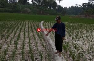 Derita Petani Menghadapi Kekeringan