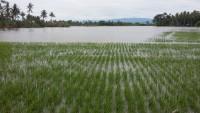 Dinas Pertanian Lamtim Imbau Petani Waspadai Banjir di Lahan Sawah