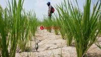 Dinas Pertanian Lamtim Lakukan Pendataan Lahan Tanaman Padi Yang Kekeringan