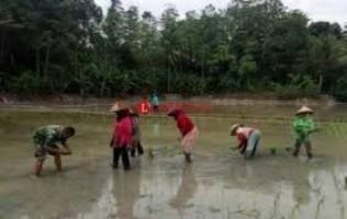 Dinas PTPH Lamtim Salurkan Bantuan Benih 13,725 Ton ke Petani