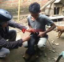 Distan Lampura Lakukan Vaksinasi 85 Hewan Pembawa Rabies di Bukit Kemuning