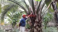 Distan Lampura Verifikasi Penerima Program Peremajaan Tanaman Sawit