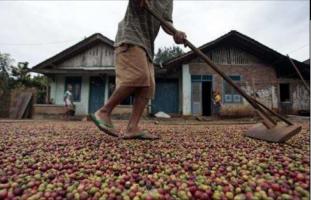Dukung Larangan Jemur Kopi di Tanah, Petani Minta Solusi Bantuan Alat Jemur