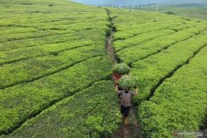 Ekspor Teh Indonesia BerpeluangMeningkat di Tengah Perang Dagang