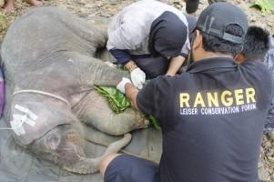 (Foto) Anak Gajah yang Terjerat di Aceh Alami Infeksi Parah