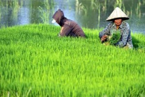 Genjot Produksi Pangan, Petani Lambar Dapat Bantuan Benih Padi