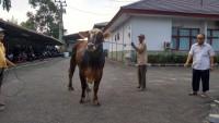 Gubernur Lampung Salurkan Sapi Kurban Melalui Lampung Post