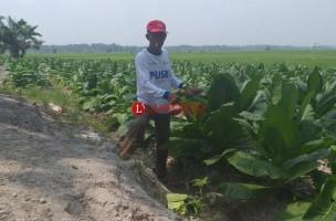 Hadapi Kemarau, Petani Pulaujaya Pilih Tanam Tembakau