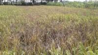 Hama Wereng Serang Tanaman Padi Petani Lamtim