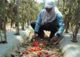 Harga Anjlok, Petani di Desa Klaten Membiarkan Tomat Membusuk di Lahan