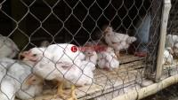Harga Ayam Turun, Pendapatan Pedagang Berkurang