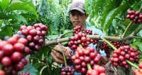 Harga Kopi di Lampung Barat Anjlok