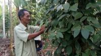 Harga Rendah, Petani Lada Bimbang untuk Bertahan atau Beralih Tanaman