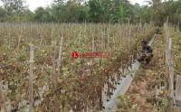 Harga Tomat Anjlok, Petani Biarkan Hasil Panen Membusuk