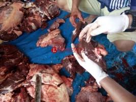 Hati-hati, Ada Hewan Kurban Mengandung Cacing Hati di Lampung Barat
