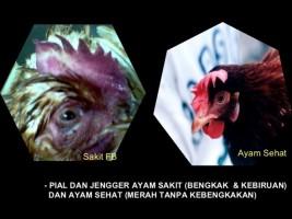 Ini Ciri Unggas yang Terinfeksi Flu Burung