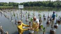 Karyawan L'Oreal Indonesia Tanam Mangrove