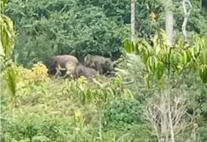 Kawanan Gajah Kembali Hampiri Perkebunan Warga Suoh