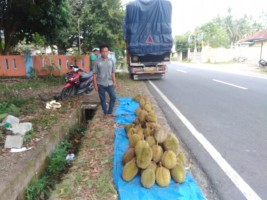Kecamatan Pesisir Selatan Musim Durian