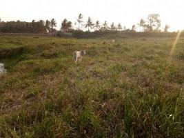 Kemarau, Ribuan Hektare Sawah di Pesisir Barat Menganggur