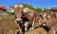 Lampung Selatan Masih Surplus Daging