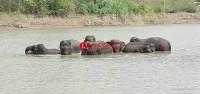 Konflik Dengan Warga, Belasan Gajah Tertahan 7 Jam di Bendungan PLTA
